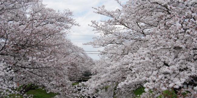 高田 千本桜