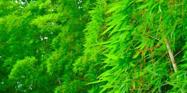 水に浮かべた笹の葉を切ってみた
