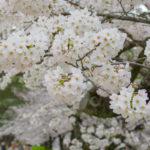 兵庫県西宮市、夙川公園の桜。~曇り空撮影時のポイント的な~